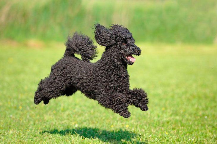 Prancing black Poodle