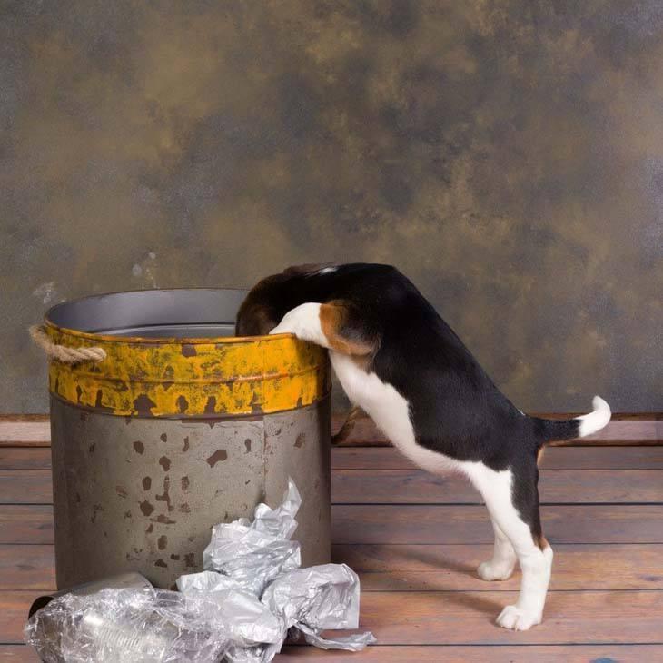 Beagle snoop