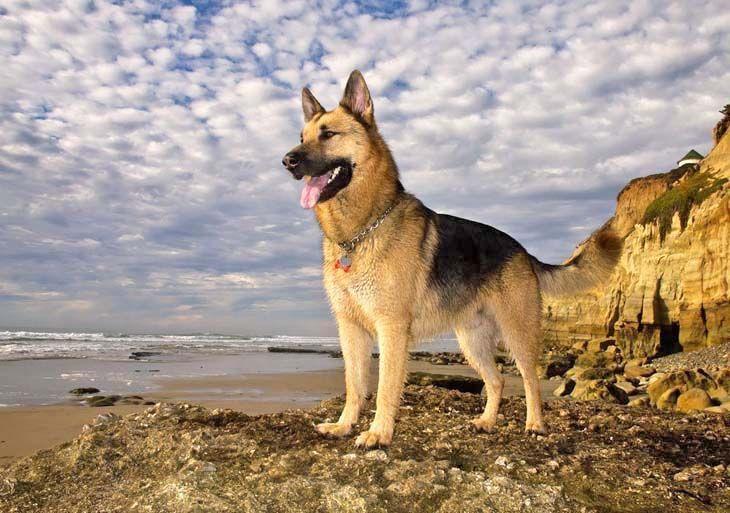 German shepherds love the beach