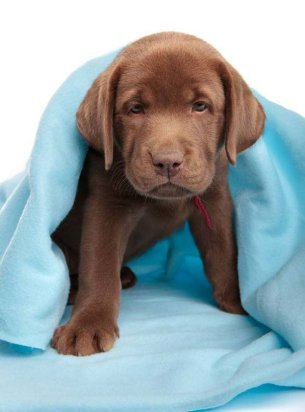 Chocolate Lab puppy ready to pounce