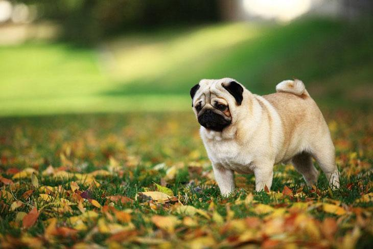 Pug on squirrel watch
