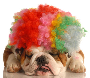 Bulldog showing off his hair