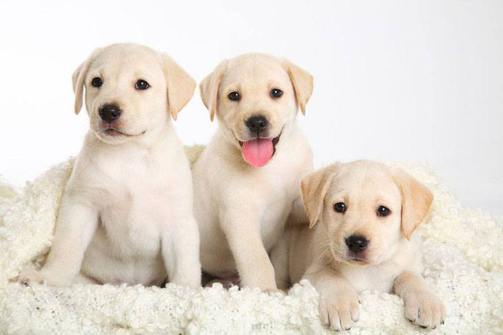 Lab puppies are hungry as usual