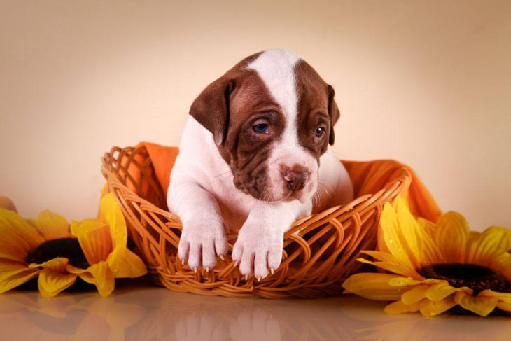 Pit Bull pup ready to bust out