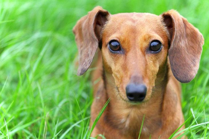 Brown Dachshund with beautiful eyes