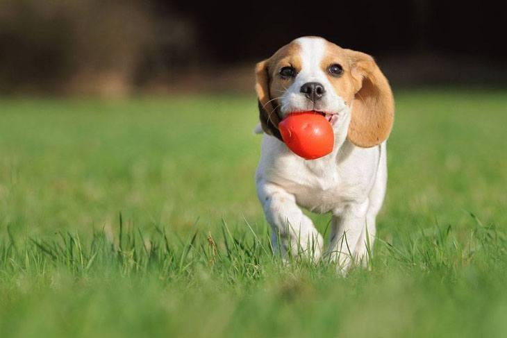 Beagle puppy fetching ball