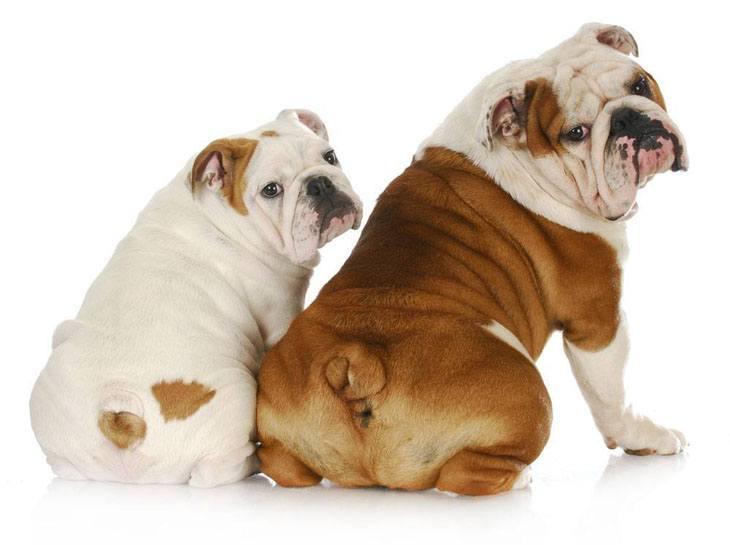 Bulldog mom and daughter