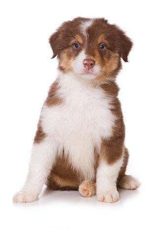 Australian Shepherd puppy hoping to go on a walk