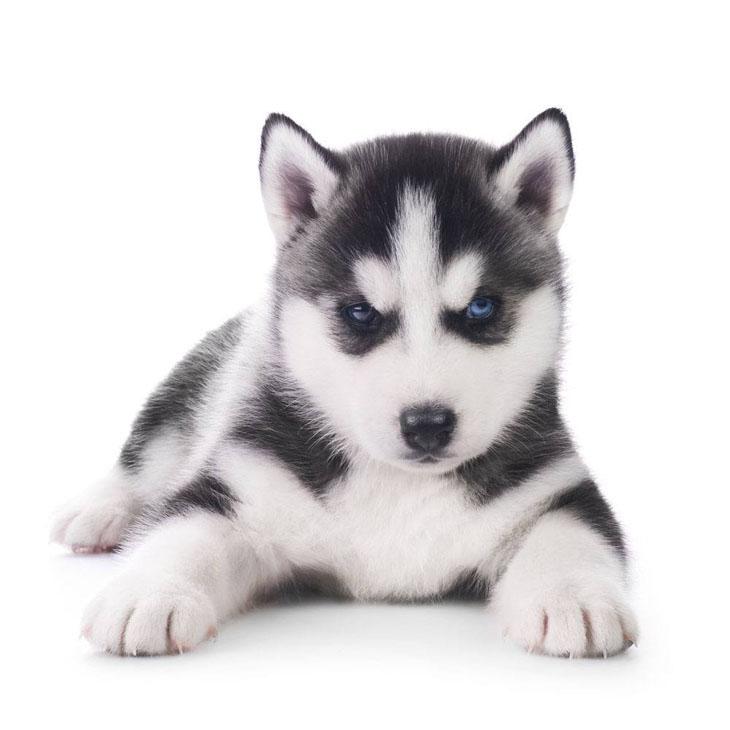 Husky puppy cutie