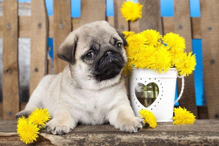 Pug puppy cutie pie