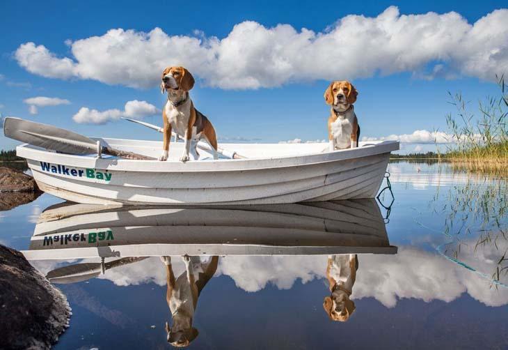 Beagles on beautiful lake