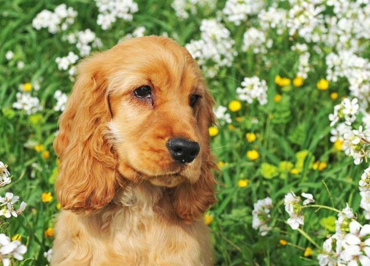Cocker Spaniel puppy waiting to go for a walk