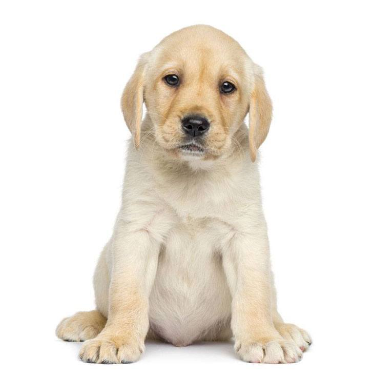 Lonely Retriever puppy watching you