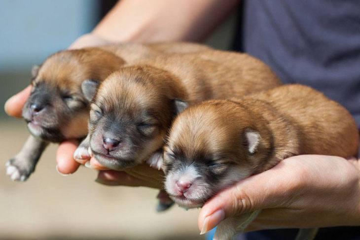 Pomeranian newborns