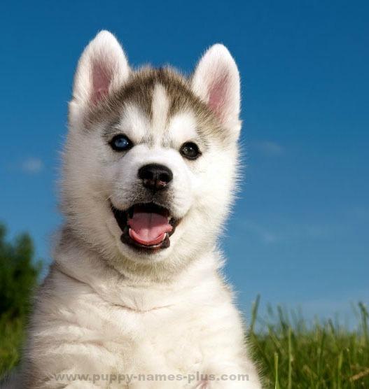 Siberian Husky cutie watching you