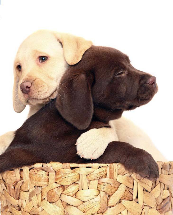 Lab puppy wrestling match