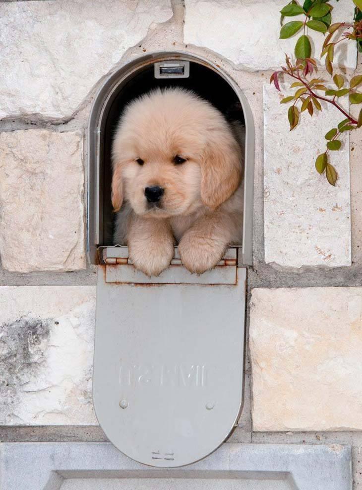Golden Retriever puppy special delivery