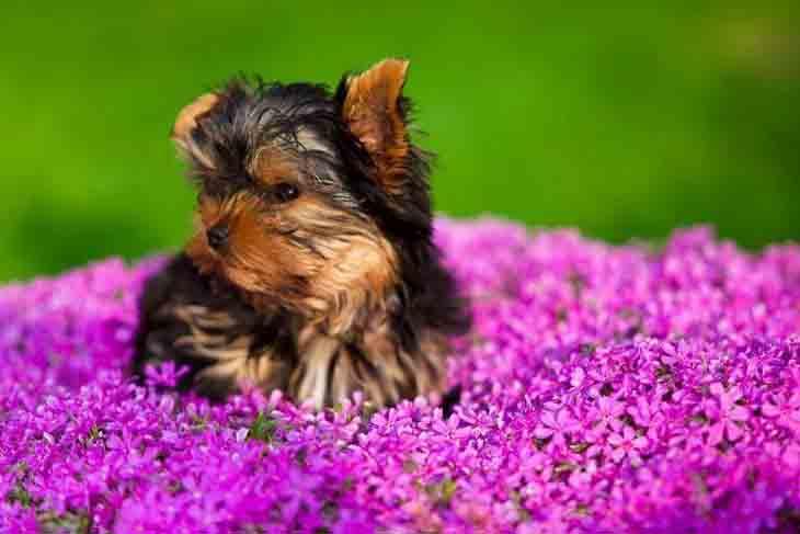 Yorkie puppy in beautiful flowers
