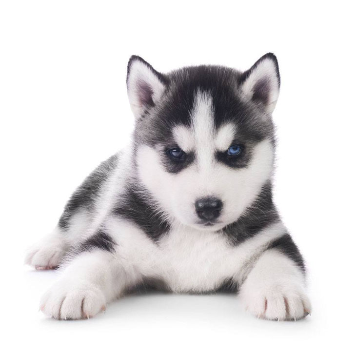 Husky puppy watching you