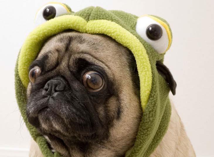 Haunted by something Pug