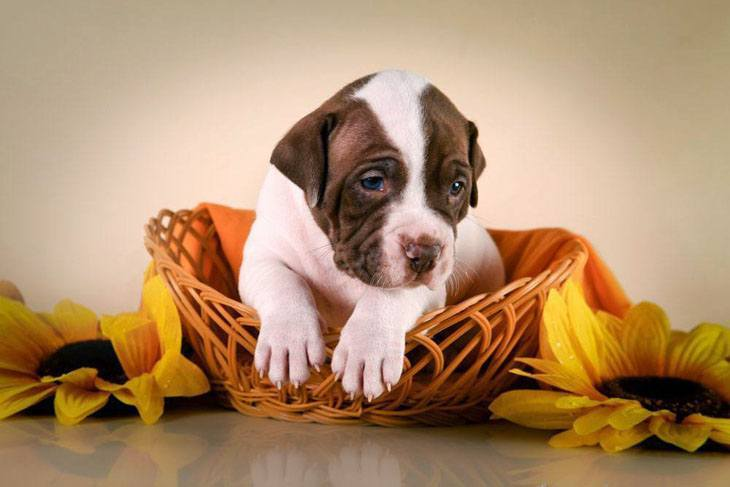 Pit Bull puppy wants to play