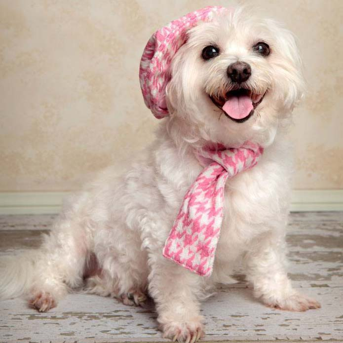 Maltese cutie all dressed up