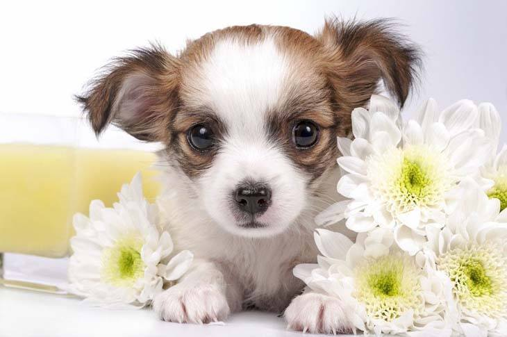 Chihuahua puppy posing with flowers