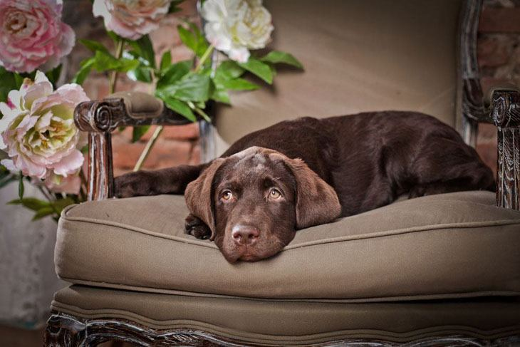Chocolate Lab waiting for a playmate