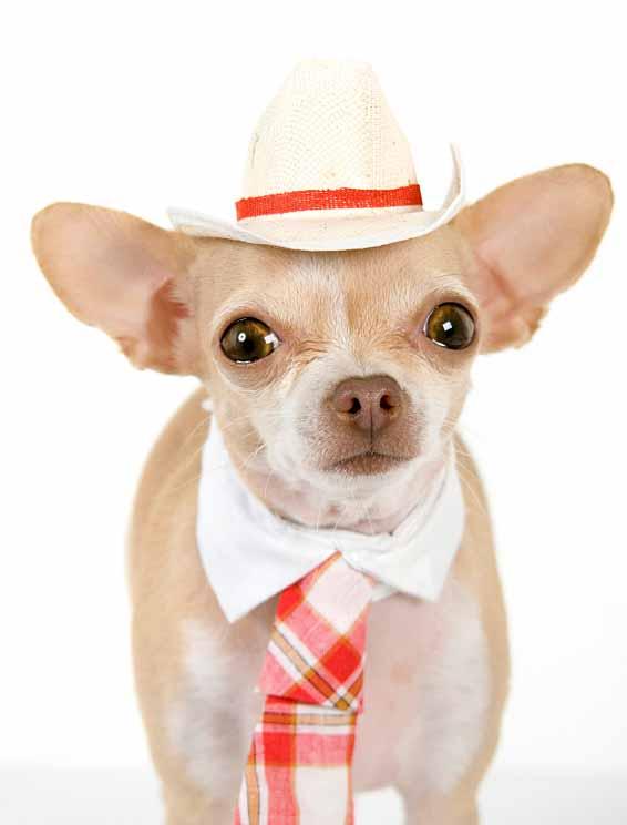 Mexican Chihuahua