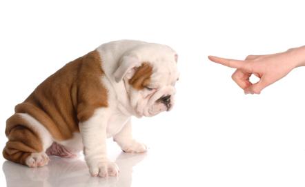 This Bulldog has been a bad dog!