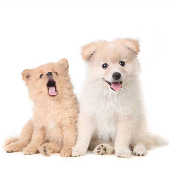 Pomeranian brother and sister looking for small dog names