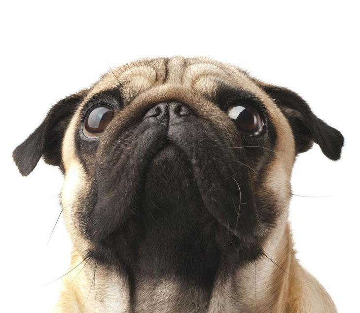 Pug looking for great dog names