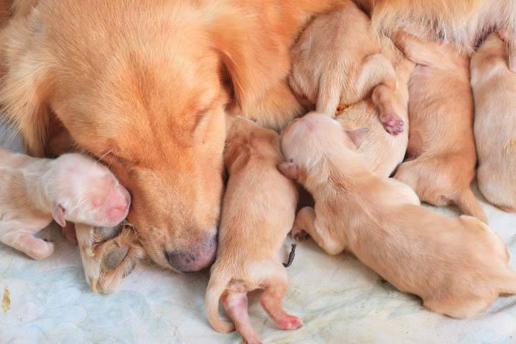 Golden Retriever puppy litter