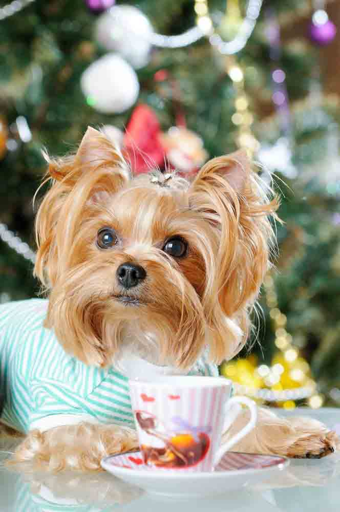 Yorkie puppy having tea