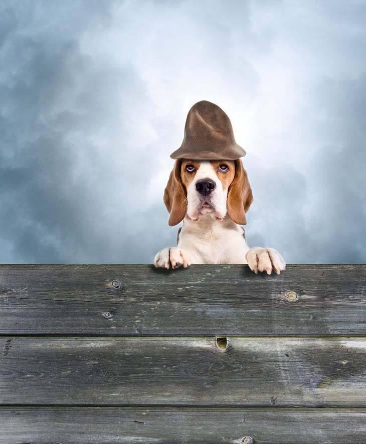 Beagle peeping tom