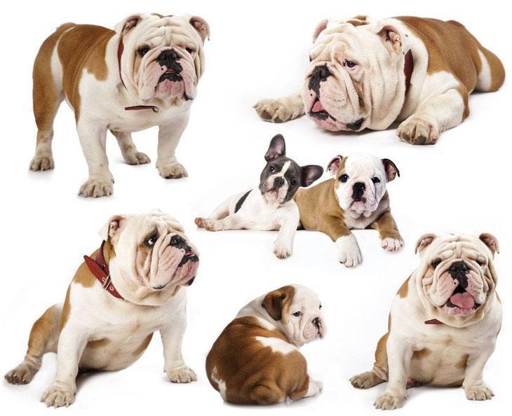 Cute Bulldog montage