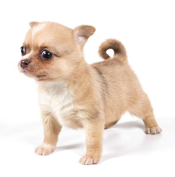 Chihuahua puppy cuteness