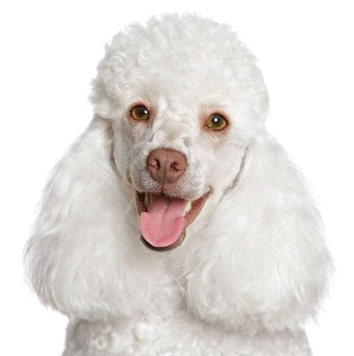 Beautiful white Poodle waiting for a hug