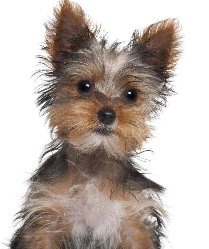 Yorkie looking at you watching him