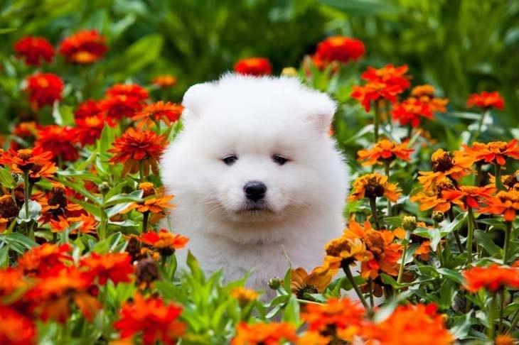 Cute Samoyed puppy