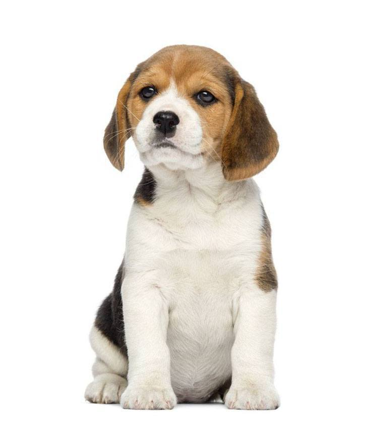 Beagle puppy smelling something to eat