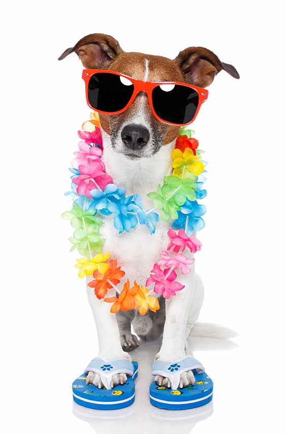Dog ready for a Hawaiian vacation