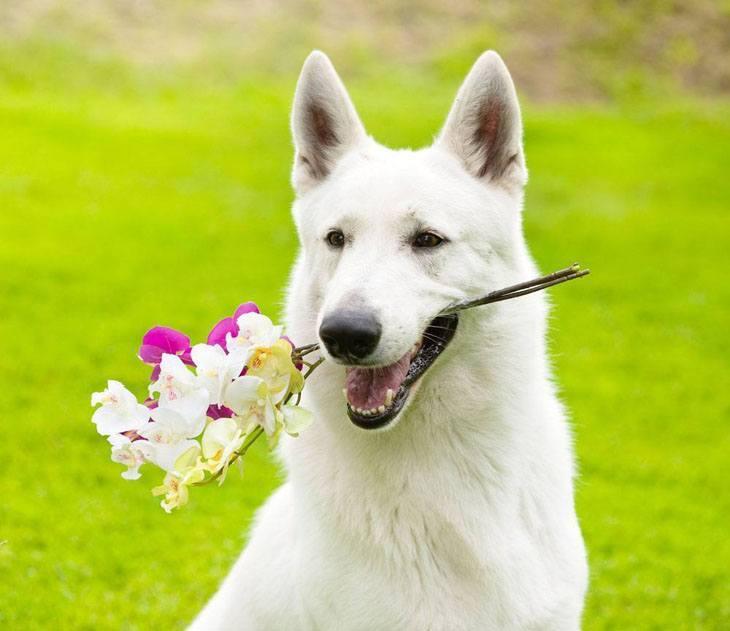 Beautiful white German Shepherd