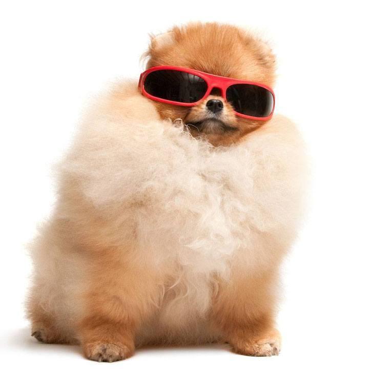 Cool Pomeranian poof ball