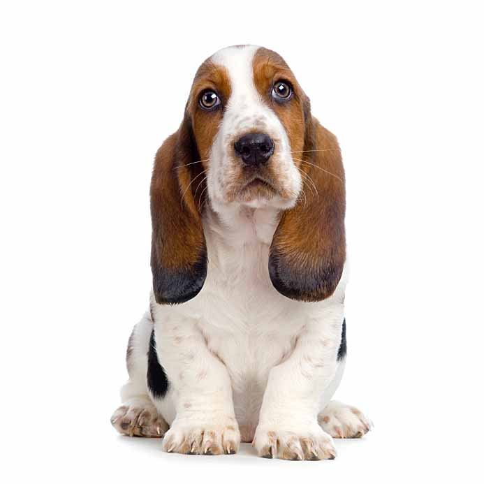 Basset Hound sad eyes