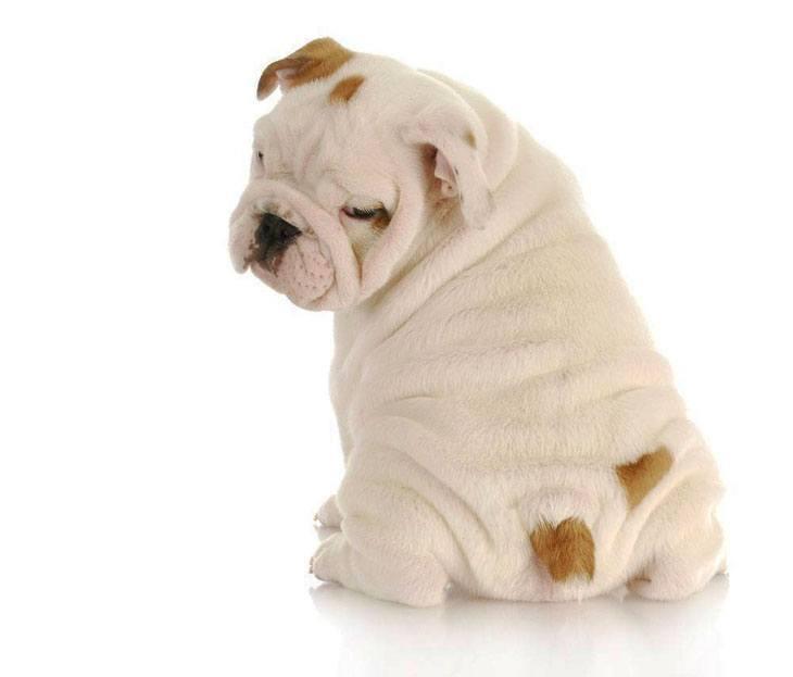 Bulldog puppy admiring it's cute little bum