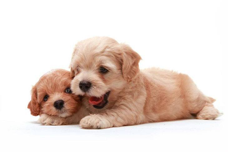 Poodle puppy playtime