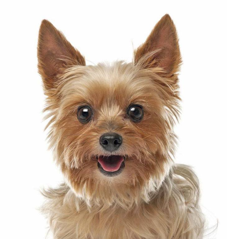 Cute Female Yorkie Names Perfect For Your Girl
