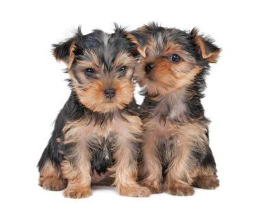 Yorkie puppies sharing a secret
