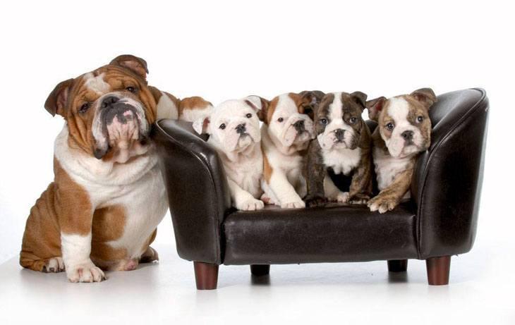 Happy Bulldog mama and her family
